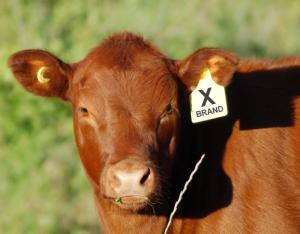 Cow-voting